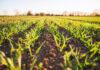 Rolnicy polegają na fungicydach jeśli chodzi o ochronę plonów przed chorobami
